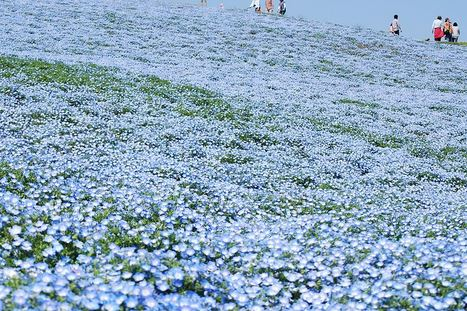 Hitachi Seaside Park ทุ่งดอกไม้ริมทะเล
